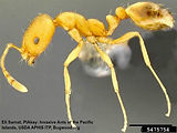 pharaoh-ant_insectimagesorg.jpg