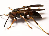paper-wasp-no-text.jpg
