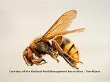 22-european-hornet-npma_l0o4975.jpg