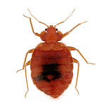 Bed Bug Pest Control .jpg