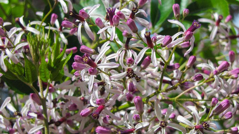 Melia azedarch - White Cedar or Persian Lilac