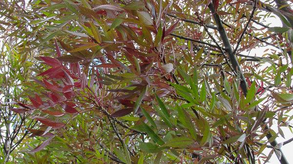 Fraxinus angustifolia raywoodii - Claret Ash