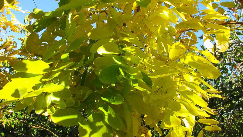 Robinia frisia - Golden Robinia