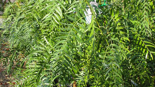 Schinus molle - Peruvian Pepper Tree