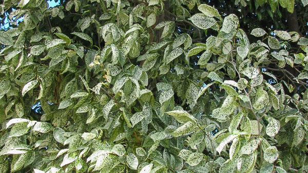 Ulmus minor variegate - Silver Elm