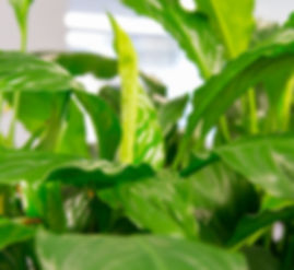 Palmistree Indoor Plant HIre