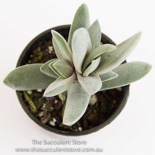 "Crassula  perfoliata falcata ""airplane plant"""