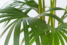 Palmistree Indoor Plant Maintenance