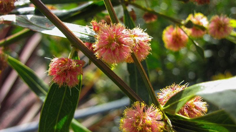 Acacia Leprosa 'Scarlet Blaze'