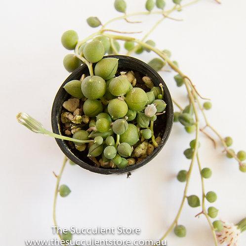 Senecio rowleyanus Big Pearls