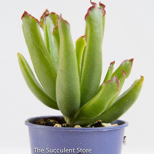 Cotyledon teretifolia