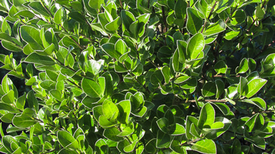 Pittosporum Stephens Island