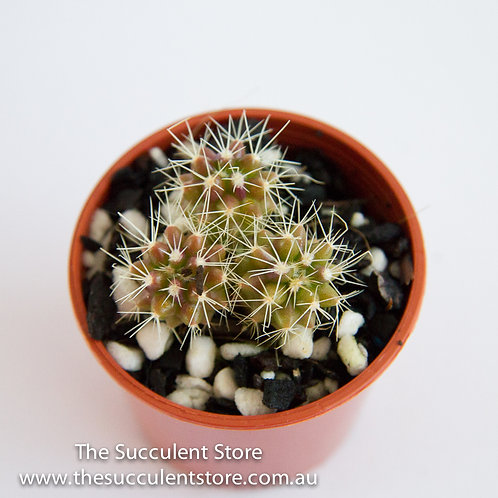 Golden Barrel Cactus