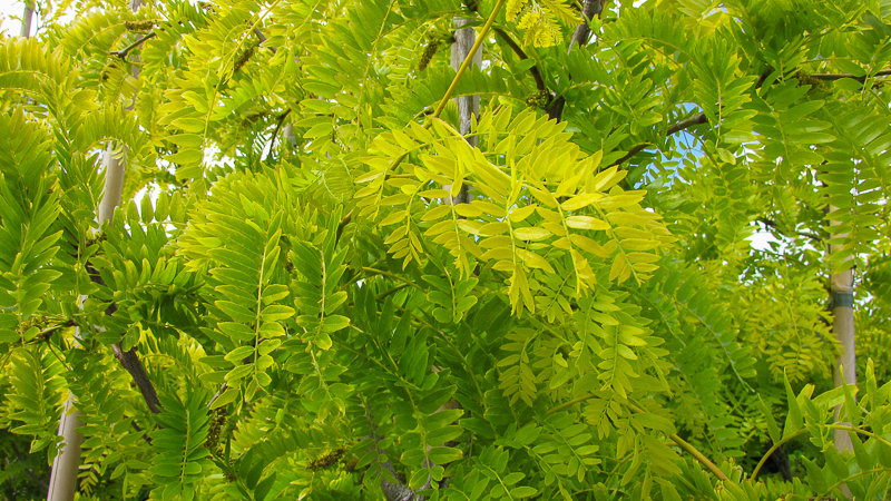 Gleditsia Shademaster