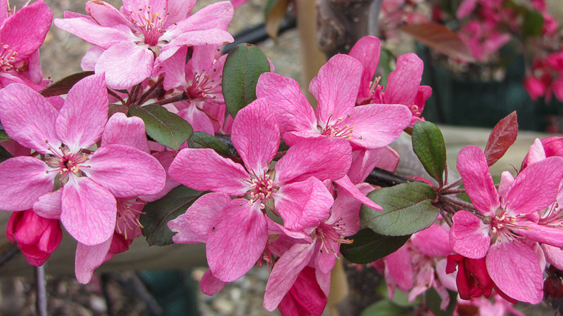 Malus ioensis rubra - crab apple