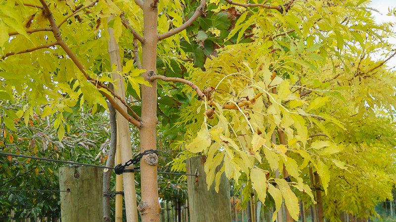 Fraxinus excelsior 'Aurea' - Golden Ash