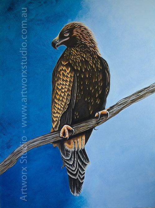 Aquila - Tasmanian Wedge Tailed Eagle