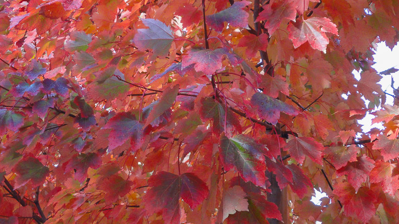 Acer rubric' October Glory'