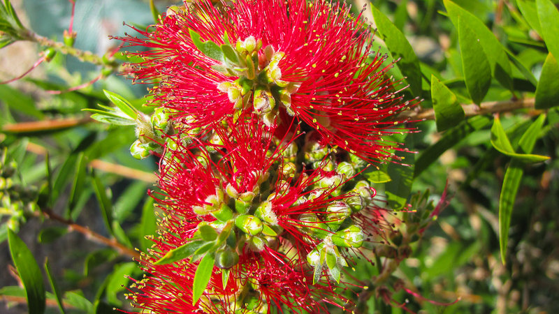 Callistemon citrons 'Saint Mary Mackillop'
