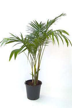 Bangalow/Bamboo Palm