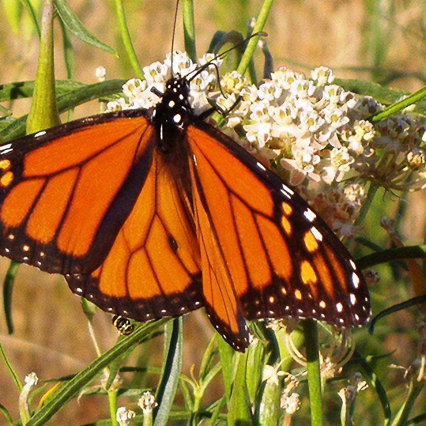 Gardening with Native Plants for Bees, Birds and Butterflies