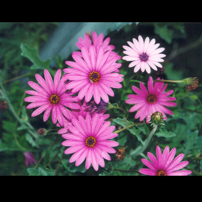 pinks1white