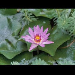 purplewaterlily