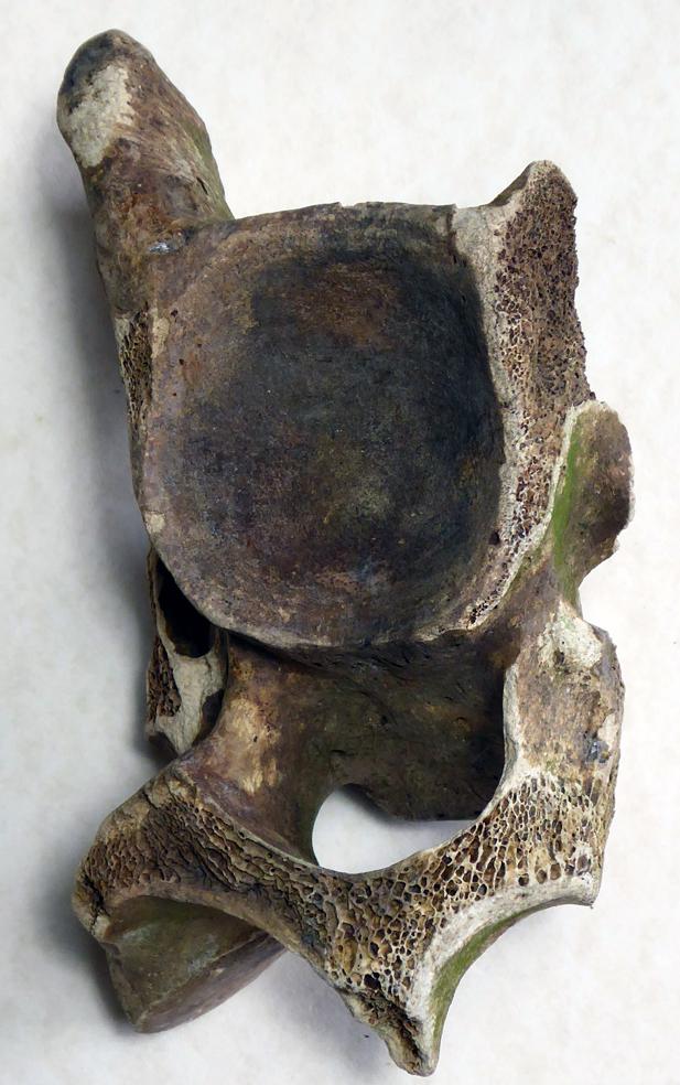 Bovine Vertibrae