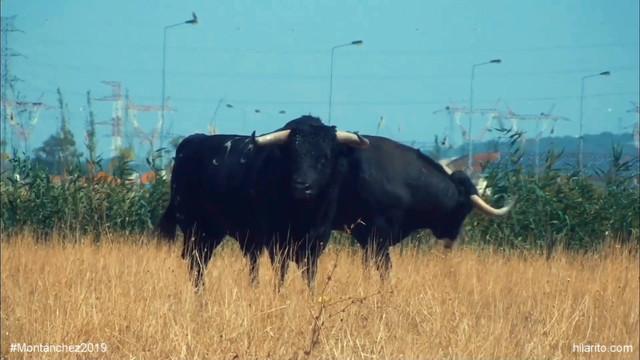 Clip ganadería Canas Vigouroux - Fiestas Montánchez