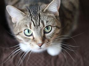 Плазмаферез кошке