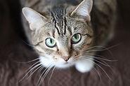 Ração Max Cat