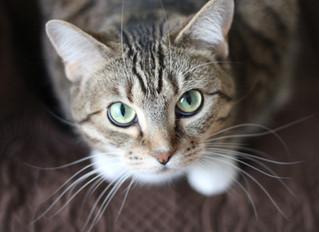 Estudo mostra que gatos machos são canhotos e fêmeas são destras