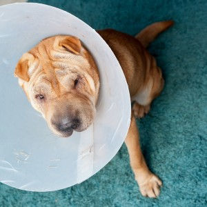 dog surgery.jpg