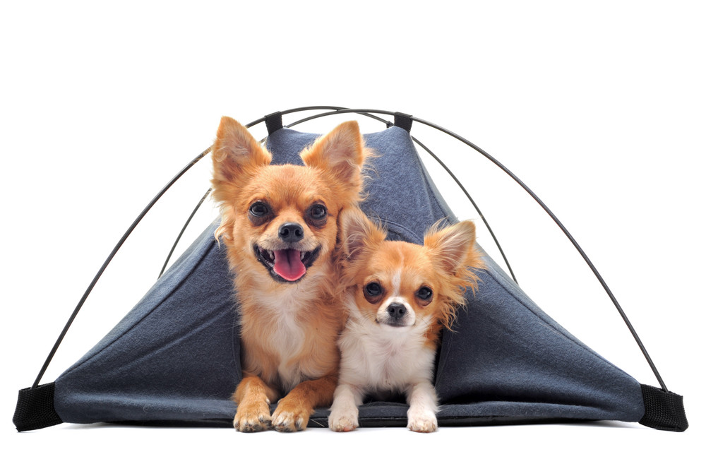 portrait of two cute purebred chihuahuas in tent in front of white background