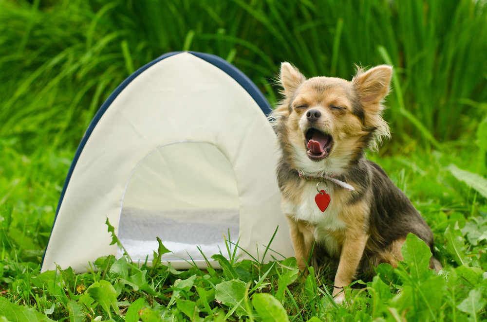 Yawning chihuahua dog sitting near camping tent at sunny meadow