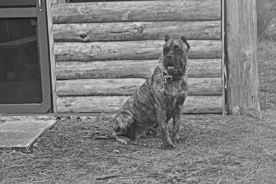 cane corso outside of trail shelter
