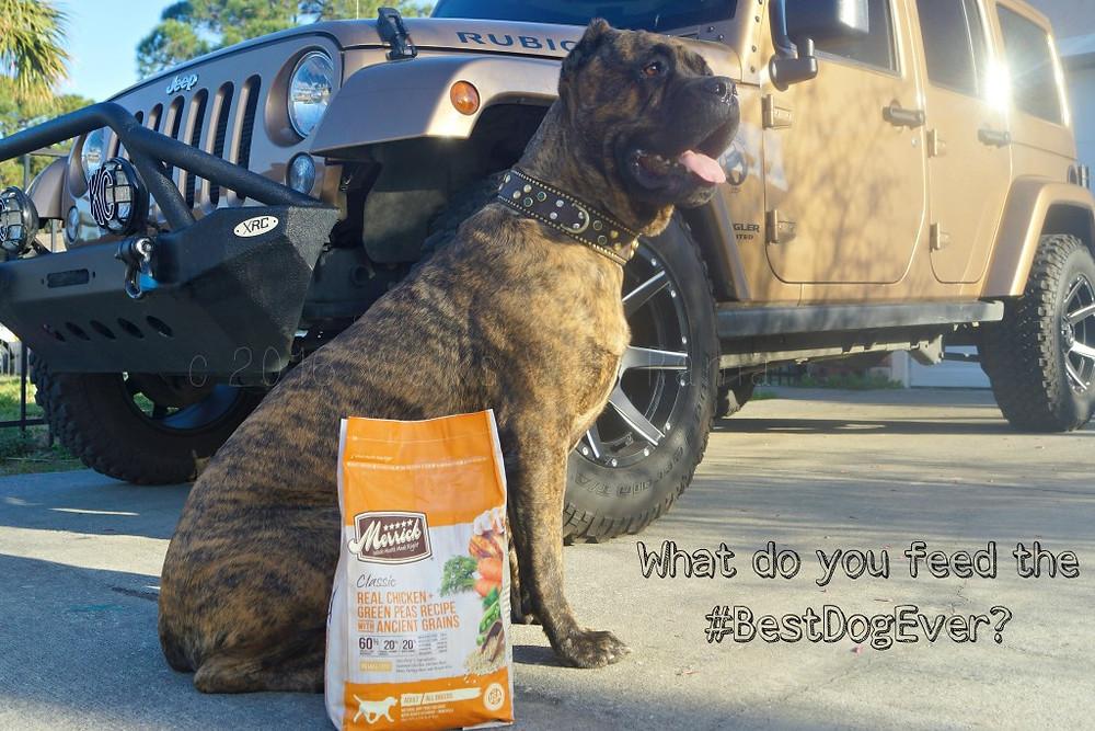 merrick dog food, cane corso with jeep
