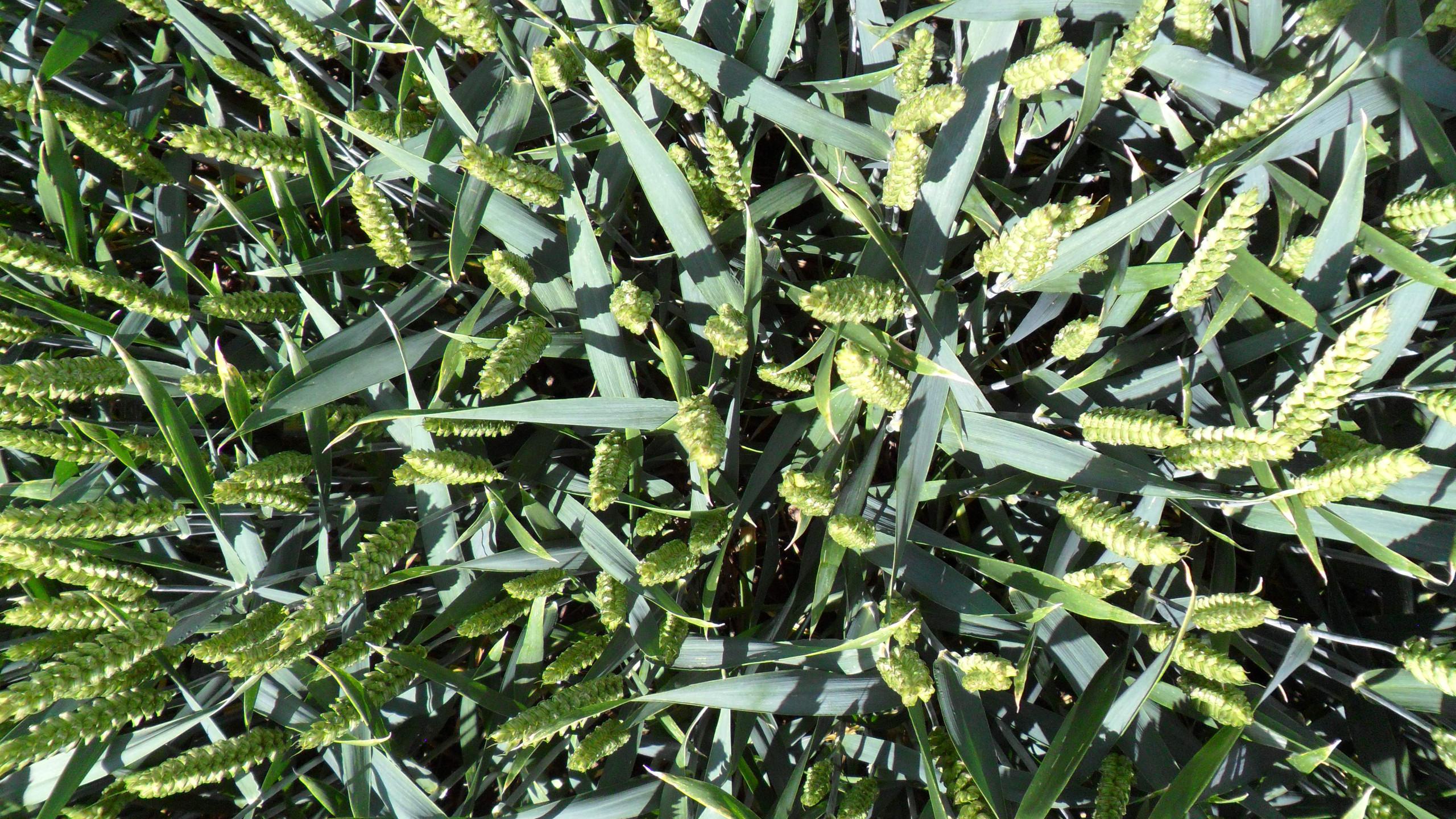 Winter Wheat Disease free