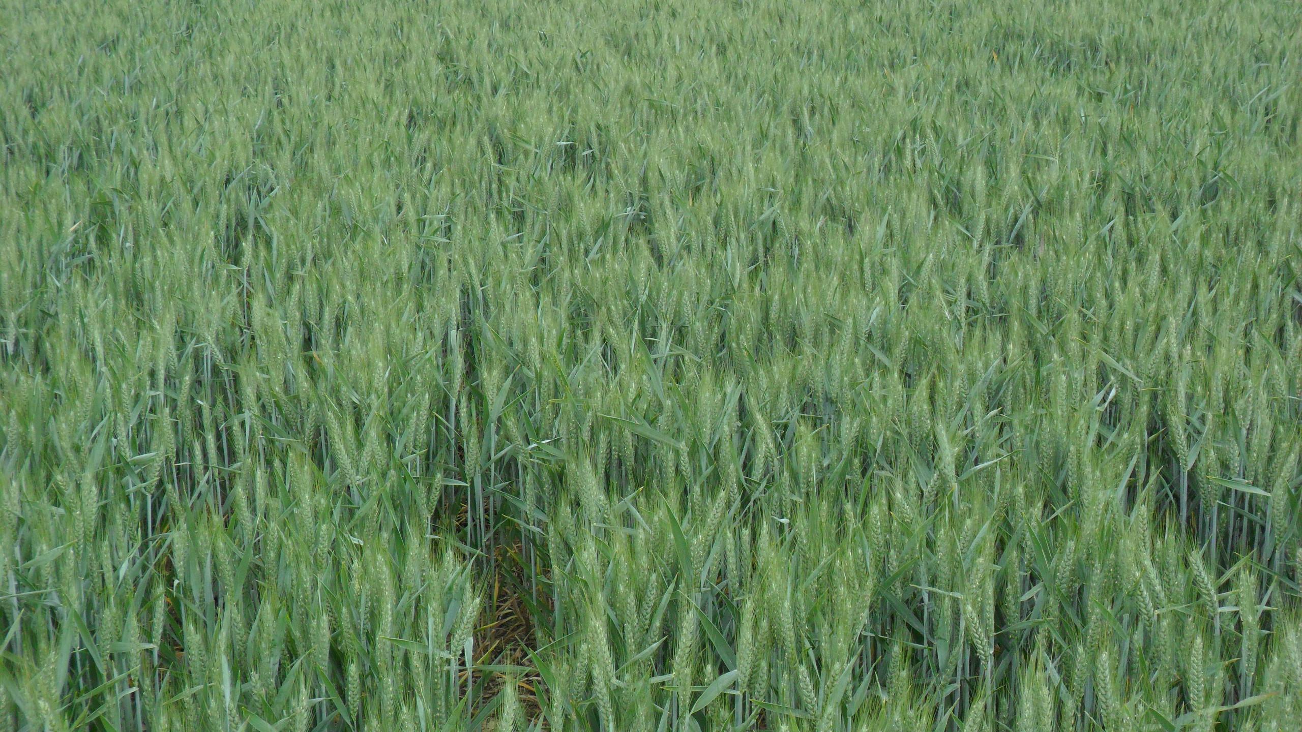 Winter Wheat no leaf roll