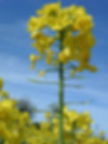 Early pod set on Oil Seed Rape, Revive Agronomy