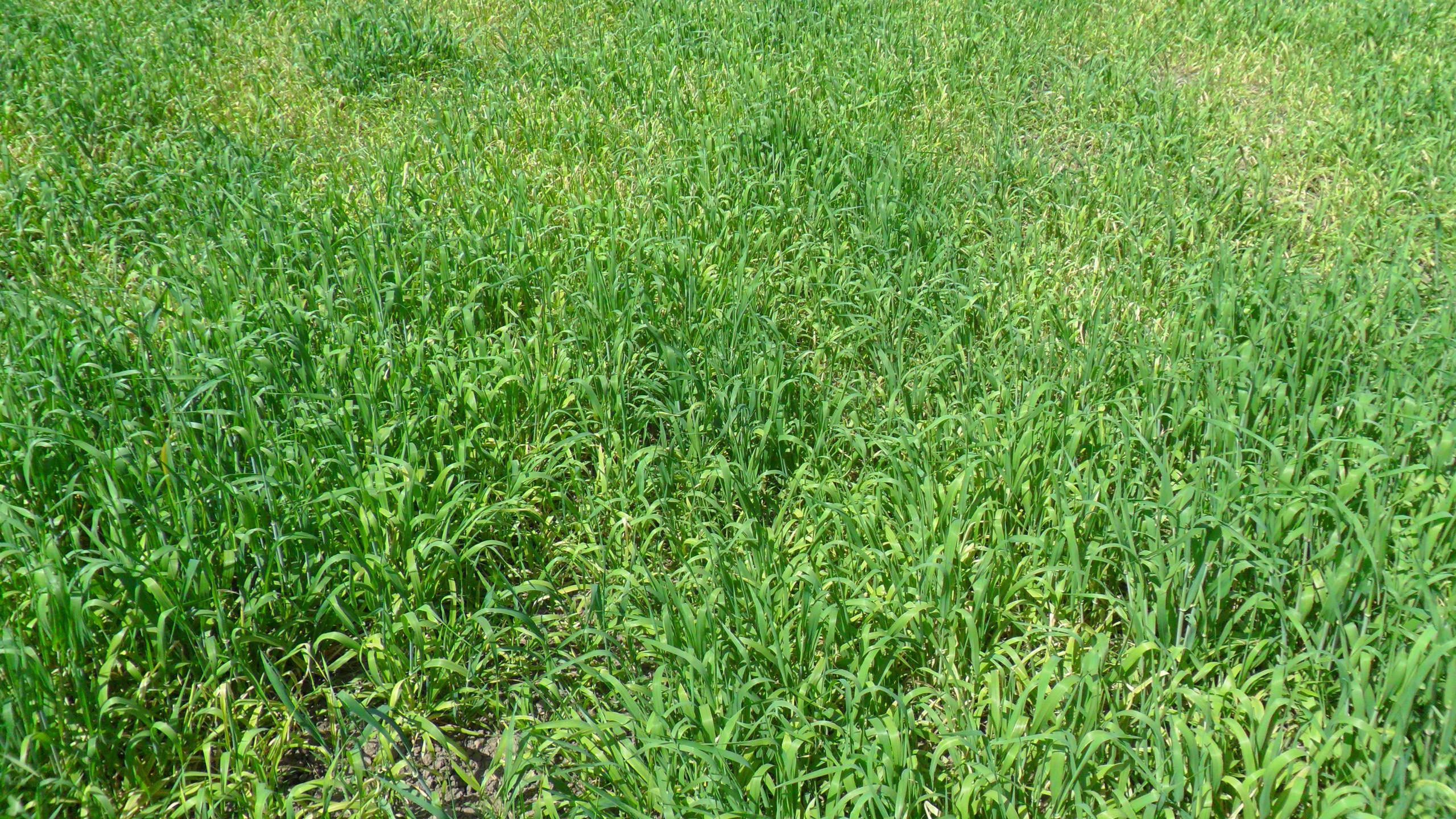 S Barley Manganese deficiency