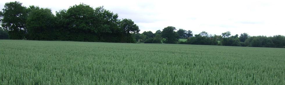 Winter Wheat Crop (2).jpg