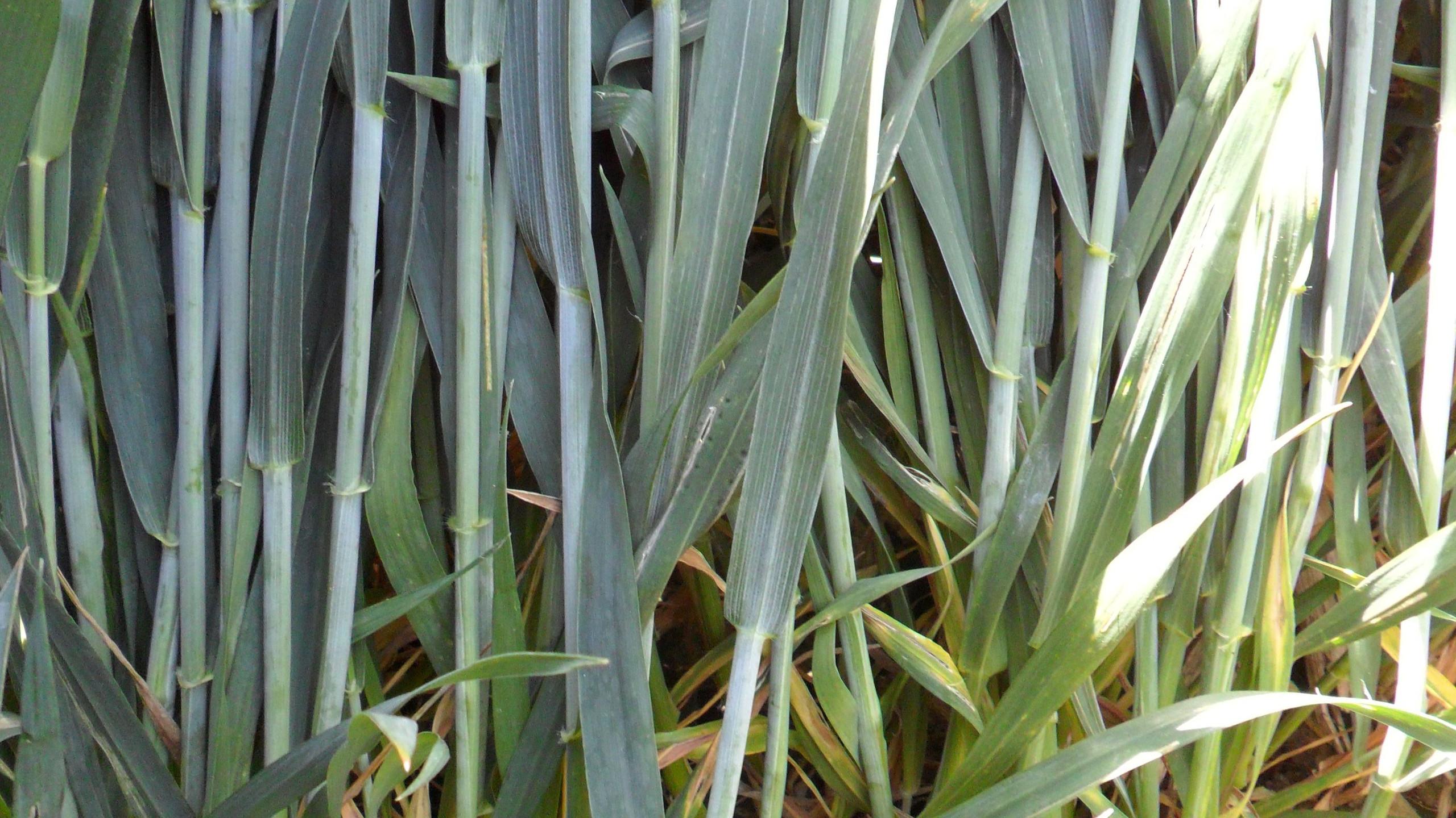 Healthy Wheat Disease Free