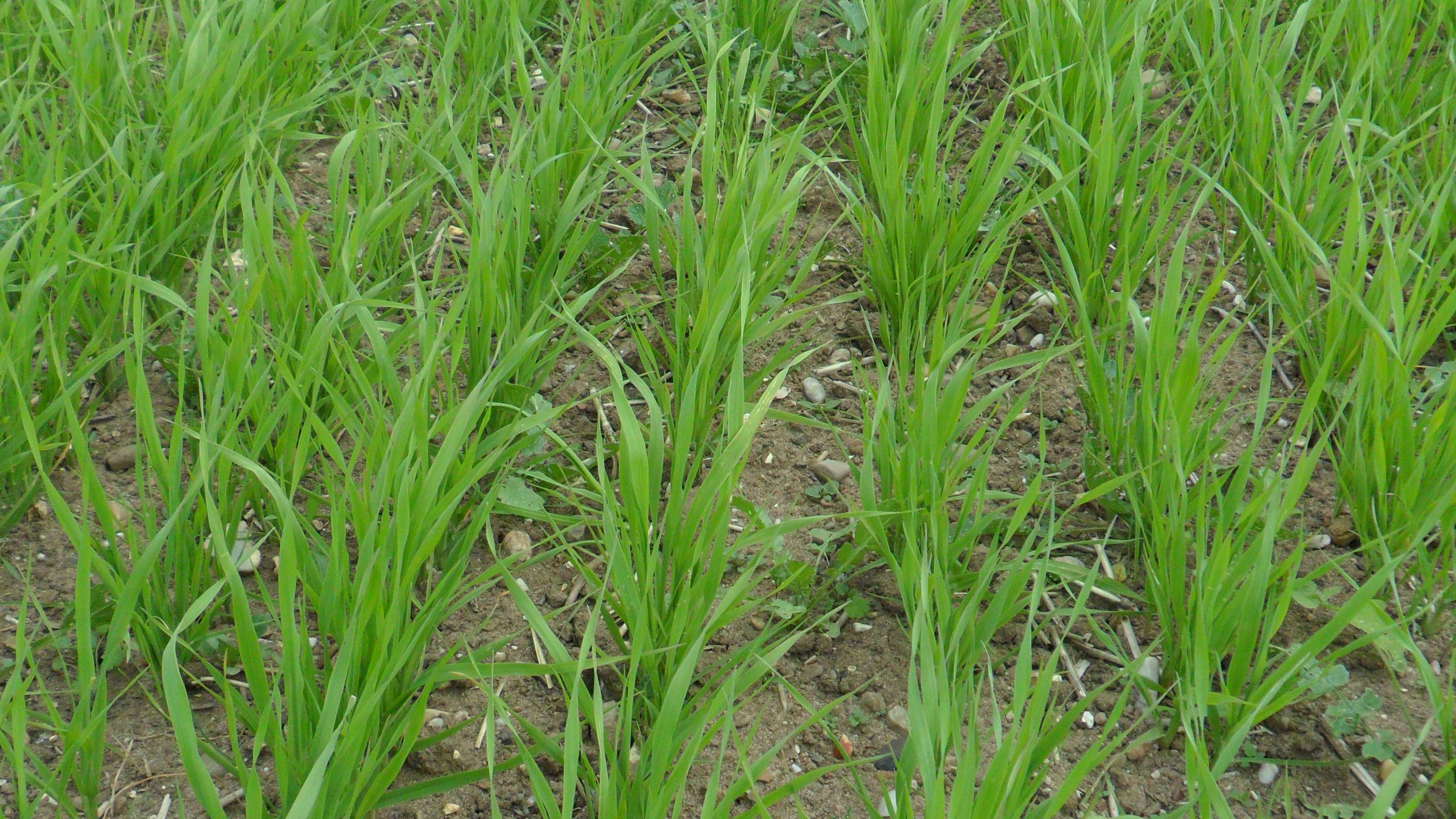 Phalaris canariensis in Row