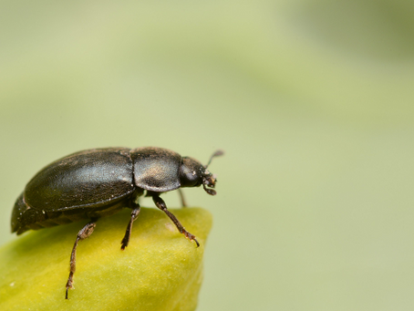 Insect pests of OSR – The Pollen Beetle
