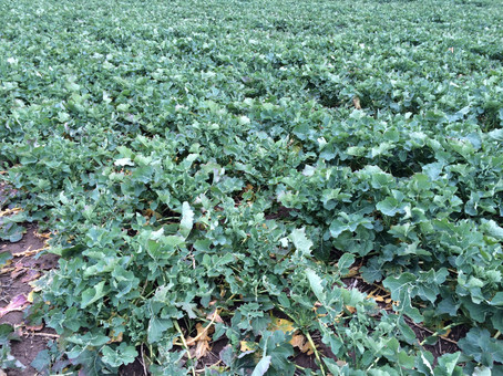 Cabbage Stem Flea Beetle Larvae and the Beast from the East