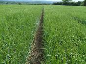 Barleyfield 2.JPG
