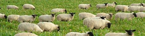 Sheep Grazing.png