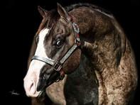 splash of silver stallion head shot 2.jp