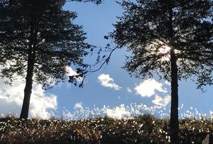 Đám cỏ lau lấp lánh dưới ánh mặt trời đầu đông tỉnh Chiba sáng ngày 11/12/2016